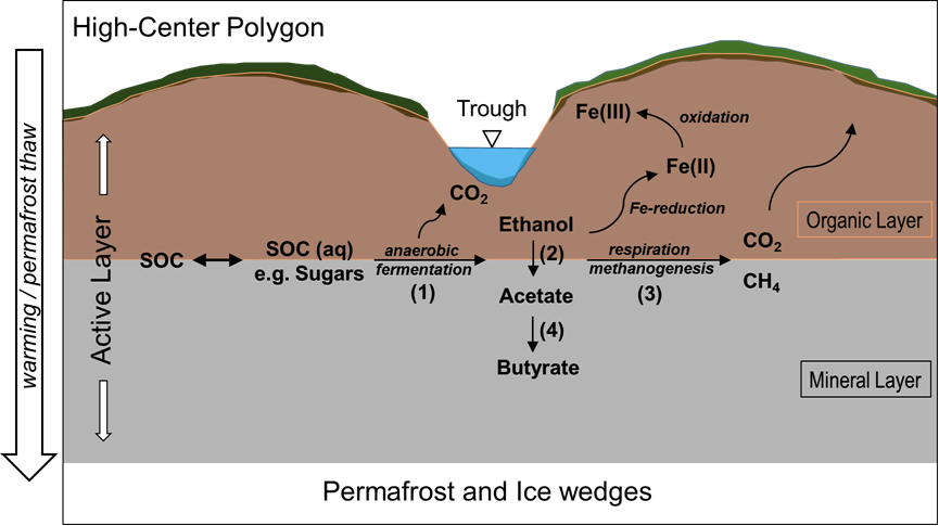 Conceptual model of anaerobic labile soil organic carbon (SOC) degradation pathways in the active layer of polygonal tundra upon warming.